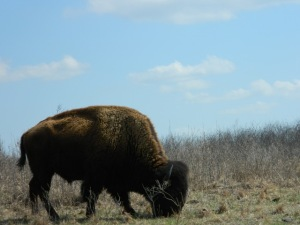 Bison grazing at Maxwell Wildlife Refuge