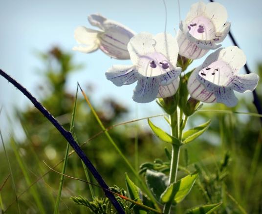 Konza Prairie wildflowers