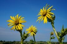 So many pretty wildflowers