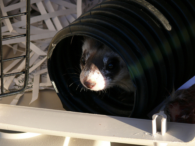 First ferret released back into Kansas. Photo by Dan Mulhern/USFWS