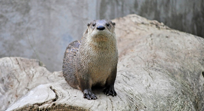 North American River Otter. Photo by Heather Paul