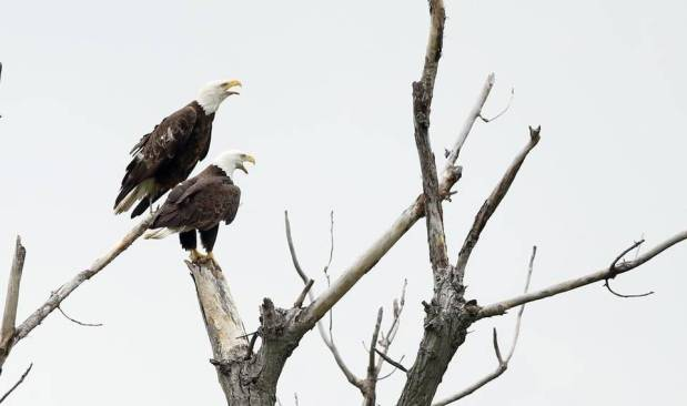 Where to see bald eagles in Kansas